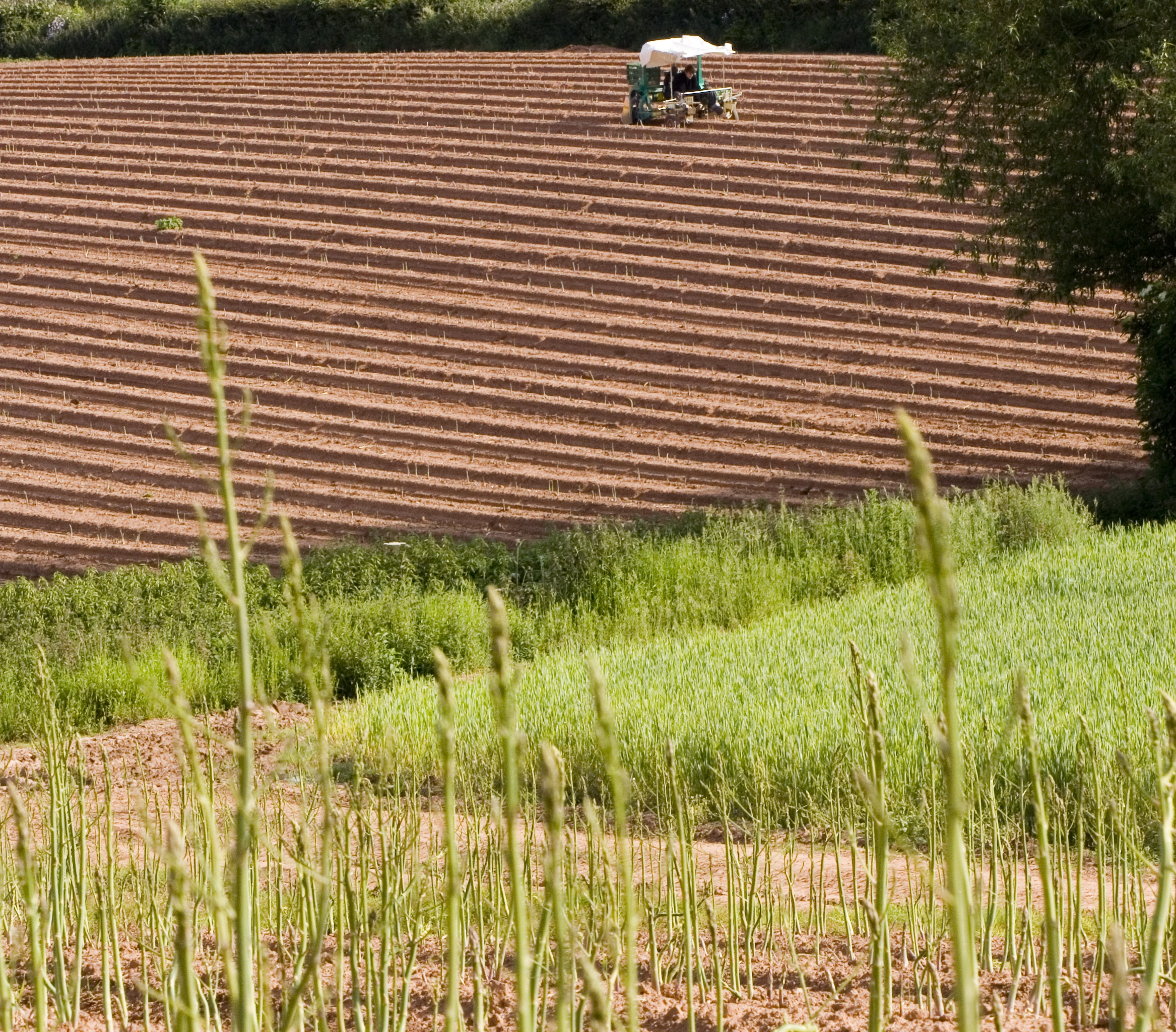 Asparagus in Field